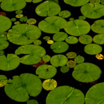 Lily pads float on pond water